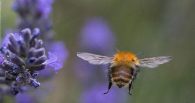 'Arılar tarım ilaçlarının bağımlısı oldu'