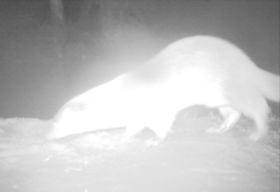 """Küre Dağları'nda görüntülenen su samuru AVLAYANA 5 YILA KADAR HAPİS CEZASI Deliorman, görüntüleri elde edilen su samurunun dünyada neslinin yok olma tehlikesiyle karşı karşıya olduğunu, koruma altındaki hayvanın avlanılması halinde 2 yıldan 5 yıla kadar hapis cezası ile 3 bin 200 liralık para cezası verildiğini dile getirdi.  Su samurunun nehir ve göl kıyılarında kazdığı çukurlarda yaşadığını anlatan Deliorman, """"Suda ustalıkla yüzer. Balık, kurbağa avlar. Kuyrukla beraber 1,5 metre boy ve 15 kilogram ağırlıkta olanları vardır. Çoğunlukla yalnız dolaşır ve gece avlanır. Oynamayı ve suda sırtüstü yüzmeyi çok sever. Her yıl tek bir yavru yavrular"""" ifadesini kullandı."""