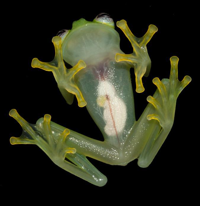 Şeffaf KarınOrta ve Güney Amerika'nın ormanlarında görülen cam kurbağaları nehir ve derelerin civarındaki ağaçların tepelerinde yaşıyor, aşağı yalnızca üremek için iniyor.Cam kurbağalarının adı, organlarını açıkça gösteren şeffaf karnından kaynaklanıyor. Bu pigment eksikliğinin nedeni bilim insanları için hâlâ gizemini koruyor.Yeşil rengi ise, gece ortaya çıkan kurbağaların gün boyunca yaprakların alt kısmında, kamufle bir şekilde kalabilmesini sağlıyor.