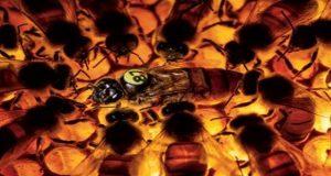 Süper Arı Buckfast: Bilim Adamları Süper Arının Peşinde
