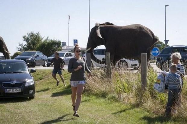 Bir görgü tanığı fillerden birinin eğitimcisi tarafından kırbaçlandıktan sonra hırçınlaştığını diğer iki filin de ona uyarak sirkten kaçtığını söyledi.