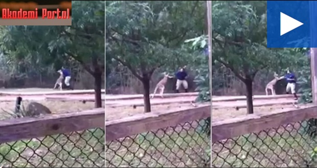 'It's not funny': Kangaroo has a boxing match with zoo worker