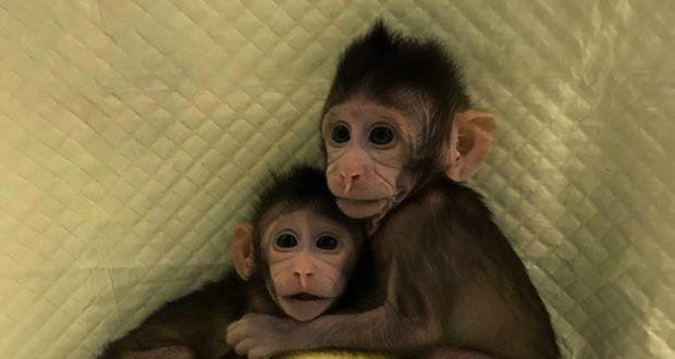 Çin Bilimler Akademisi Maymun Klonlamayı Başardı