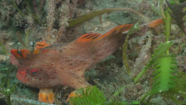 Incredible footage shows Red Handfish using hand walk Video