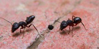 Sosyal Mesafeyi Koruma konusunda Karıncalar İnsanlardan daha iyi olabilir mi?