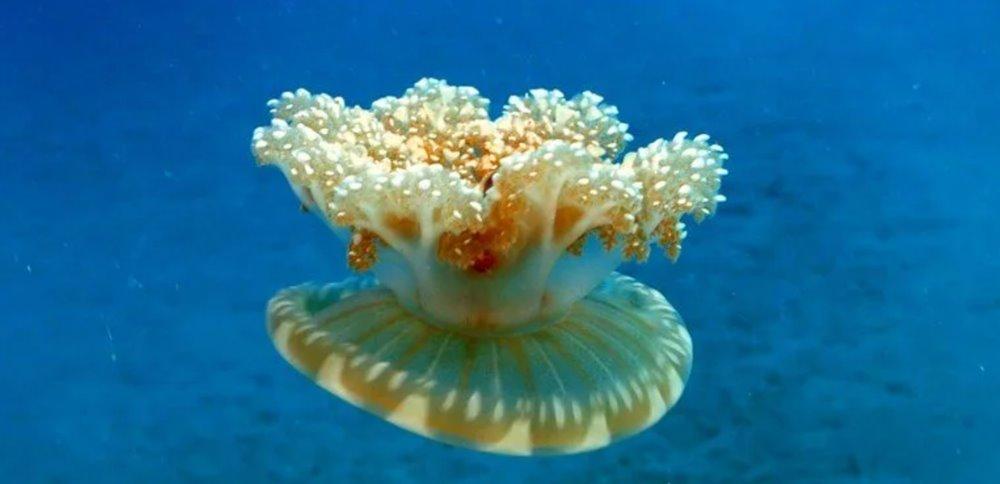 Denizanası istilası: Dokunan hastanelik oluyor